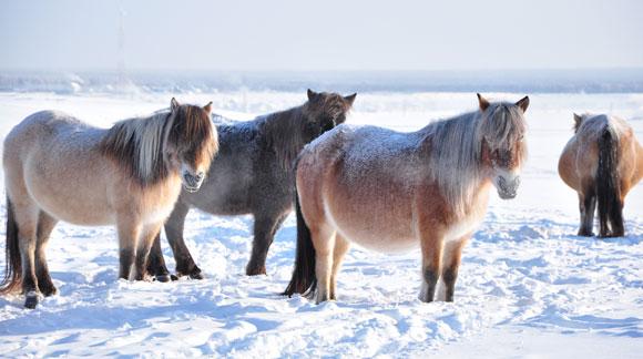 סוסי בר בסיביר