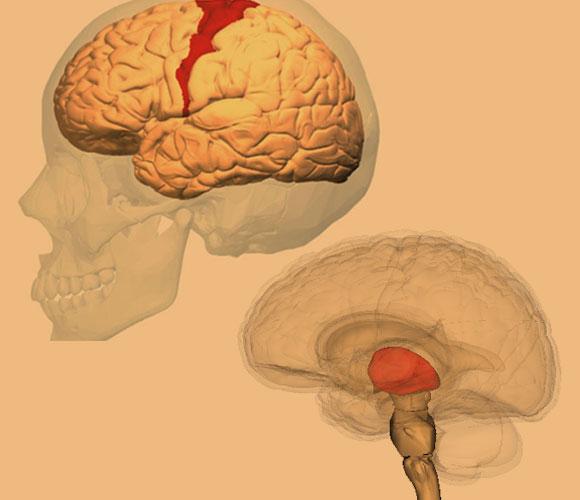אזורים במוח