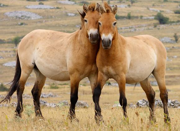 סוסי פז'בלסקי