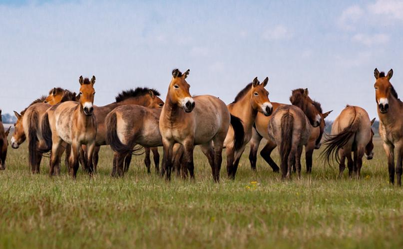 עדר סוסי פז'בלסקי